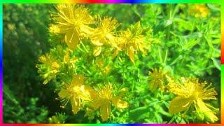 Природа родного края. Зверобой многолетнее травянистое растение с красивыми жёлтыми цветами в виде звёздочек. Цветы собраны в метельчатые соцветия. Произрастает  он в северных полушариях Земли. Существует много видов зверобоя. В России