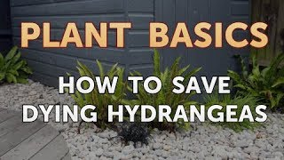 How to Save Dying Hydrangeas