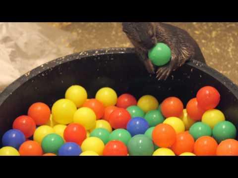 Otter Ball Pit
