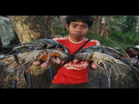 Video RAHASIA Petani Boyolali Panen Udang Galah 1,7 Ton-Hektare