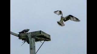 osprey brings back fish for lunch