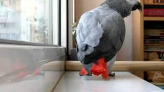 Попугай, который любит петь песни Ани Лорак
