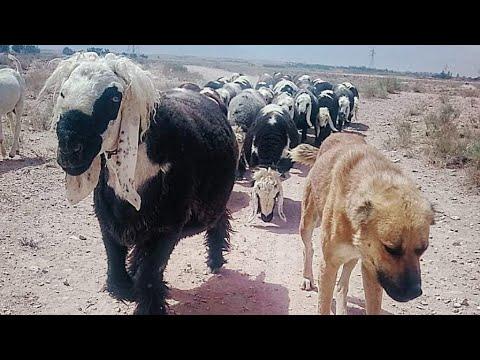 , title : 'Pakistan Most Expensive sheep breed* Famous Kadcocha Mastung Sheeps