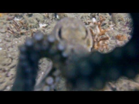 Oktopus hilft bei der Kameraeinstellung, Jacksonville,Florida,USA