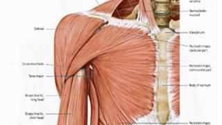Shoulder - Anatomy