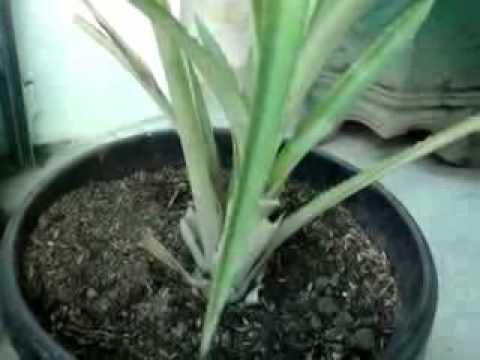 Video Budidaya Nenas dalam Pot
