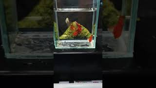 Flamingo red rose swallow guppies