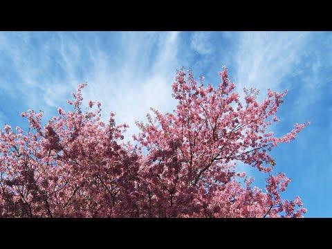 Hanami: cerejeiras colorem e enfeitam as ruas de Nova Friburgo