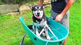 Alaskan Malamute Puppy First Time Bath
