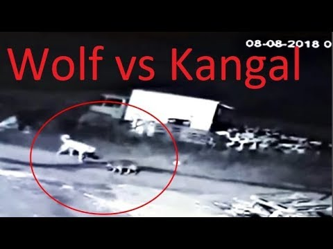 Fearless Wolf Attacks A Kangal Dog!!!