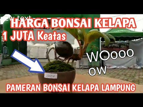 Download Harga Bonsai Kelapa 1 Juta Rupiah Di Pameran Lampung