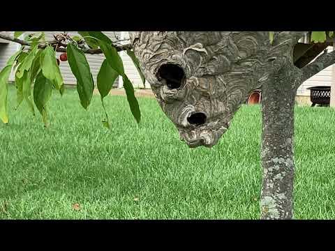 Massive Bald Faced Hornets Nest Found in Dunellen, NJ