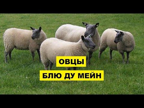 , title : 'Разведение овец Блю ду Мейн как бизнес идея | Овцеводство | Овцы Блю ду Мейн