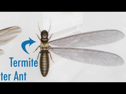Misidentification of insects by homeowners sometimes happens. A common source of confusion are ants and...