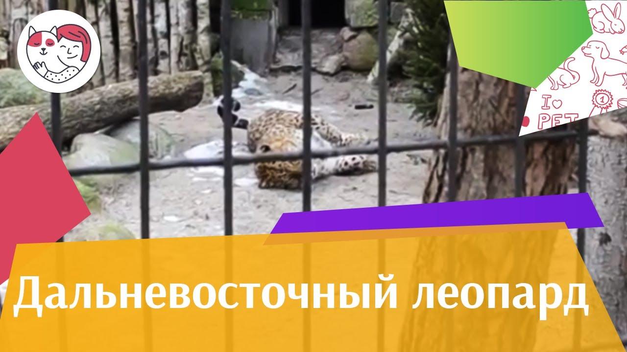 Дальневосточный леопард Рацион нна ilikepet