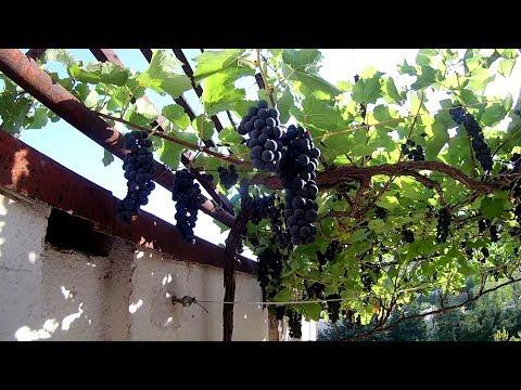 Виноград в горшке на балконе  +БОНУС Видео  ТАКОГО ВЫ НИГДЕ НЕ УВИДИТЕ !!! Cвоими руками