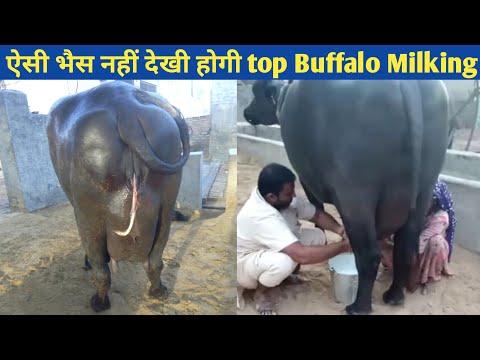 Murrah Buffalo - Wholesale Price & Mandi Rate for Murrah Buffalo