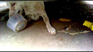 me feeding starved stray dog whitey ,and monty is not barking at him  at about 6pm  on 6th june 2016