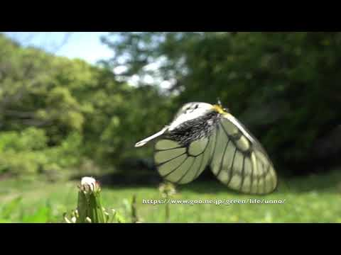ウスバシロチョウの飛翔 Parnassius citrinarius fluttering