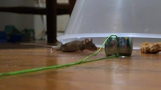 I Caught A Mouse (Again!) - House Mouse Wont Go Into Traps