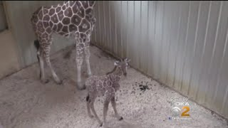 Living Treasures Wild Animal Park Welcomes Baby Giraffe