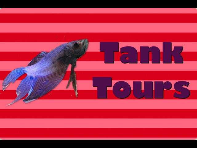 BETTA FISH TANK TOURS FEBRUARY 2017!