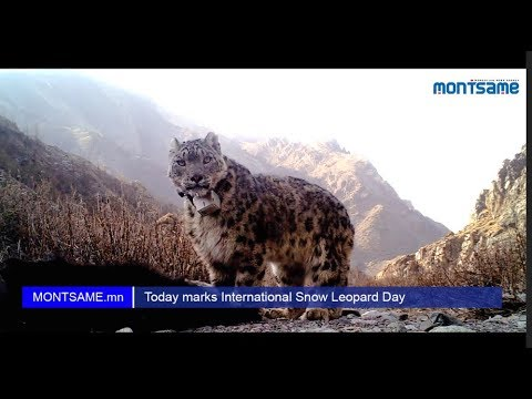 Today marks International Snow Leopard Day