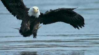 Bald Headed Eagle catches salmon