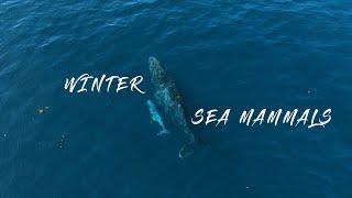 Winter Sea Mammals of Sydney 2021   Drone/Aerial Shots   DJI FPV & DJI Mavic Air