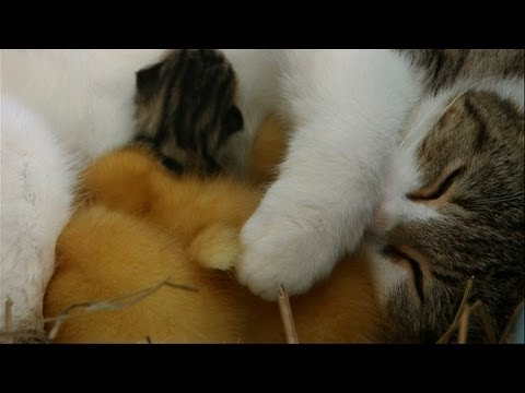 It Doesn't Get Cuter Than This: Cat Mother Adopts Ducklings!