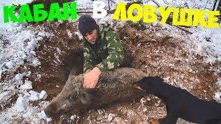 Как ловить кабана капканом