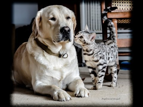 Amazing Cat and Dog LOVE,  Our Labrador & Bengal Kitten becoming best friends.