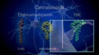 How the Brain works, and responds to Marijuana (THC)