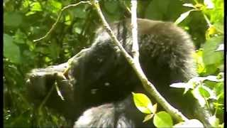 preview picture of video 'MOUNTAIN GORILLAS OF BWINDI IMPENETRABLE FOREST IN UGANDA.'