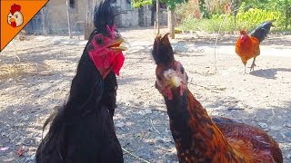 Cute Black Rooster - Kosovo Longcrower - Black Roosters