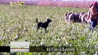 SABÍAS QUE... El Carea Leonés EN CAZURRINES TV