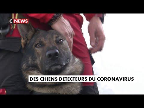 Covid-19 : des chiens pour détecter le virus Covid-19 : des chiens pour détecter le virus
