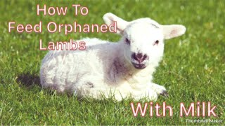 How To Feed Orphaned Lambs!