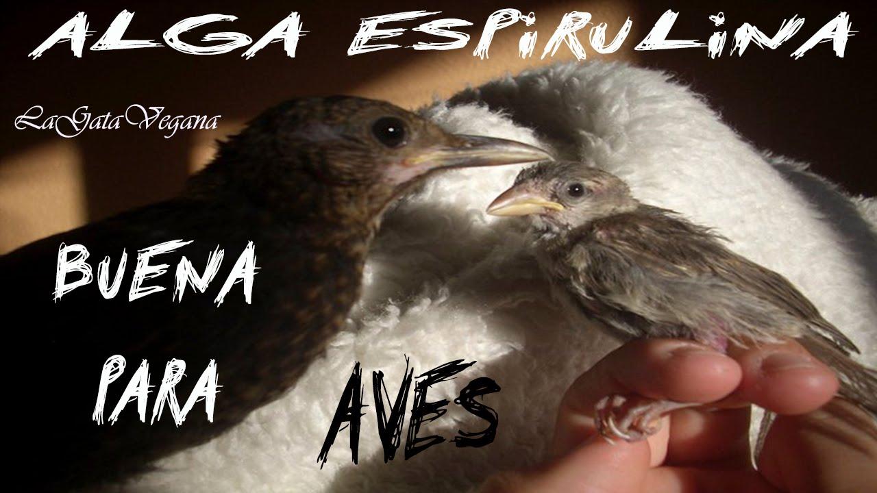 ALGA ESPIRULINA PARA AVES / ALGA BUENA PARA LA RECUPERACIÓN DE AVES ENFERMAS