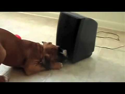 How To Get Famous On YouTube: Show A Dog A Speaker.