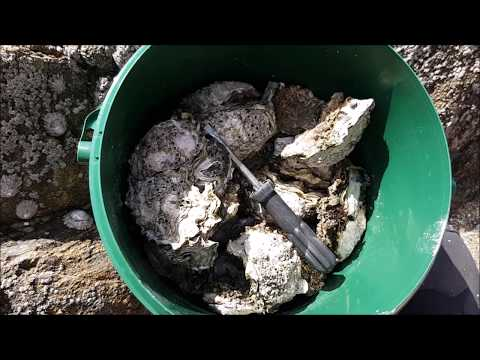 OYSTERS EATEN ALIVE PART 2