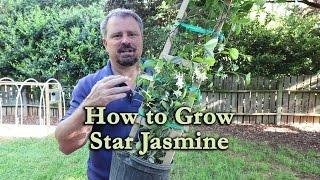 How to grow Star Jasmine (Confederate Jasmine) with a detailed description