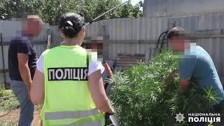 Под Николаевом «растаман» вырастил в фруктовом саду более 50 кустов конопли. Видео