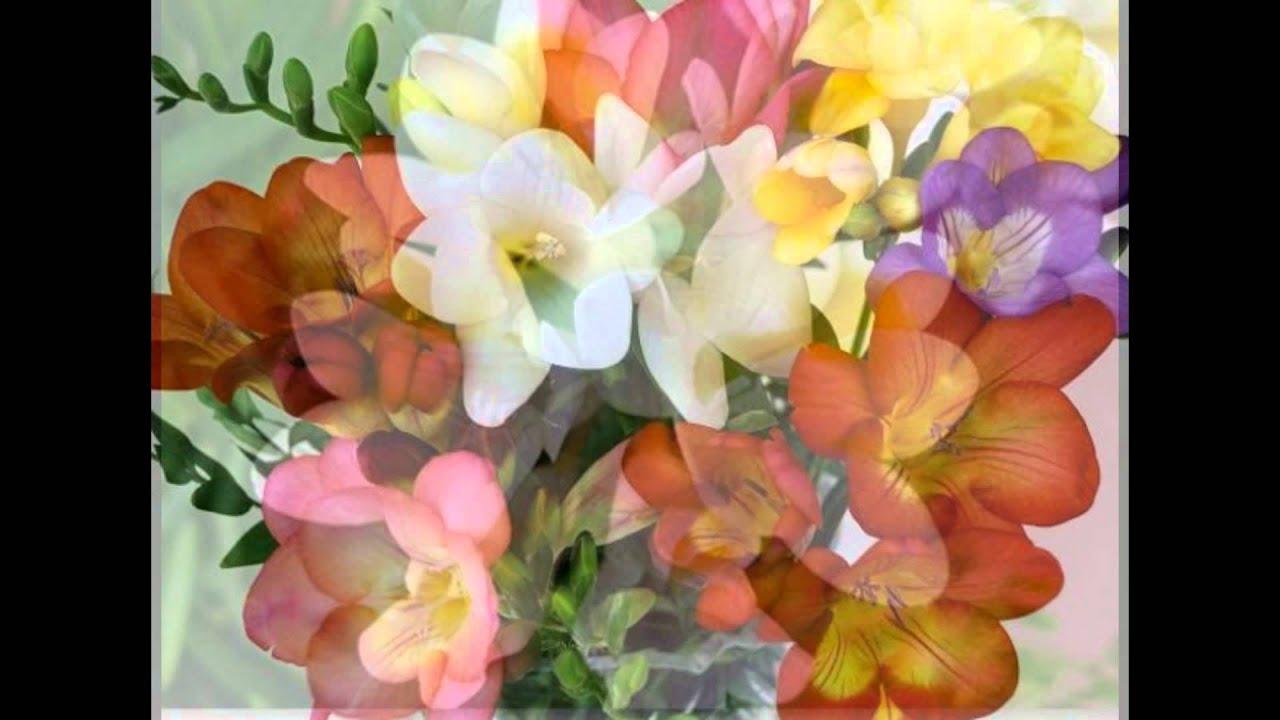 фрезия - изящный многолетний цветок...