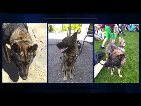Dog Missing After Car Prowler Smashes Out Man's SUV Windows