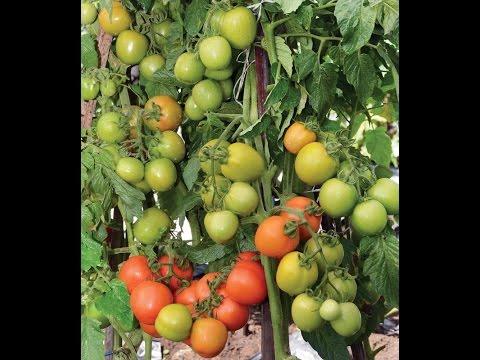 Video cara menanam tomat agar berbuah banyak - cara menanam tomat agar cepat berbuah
