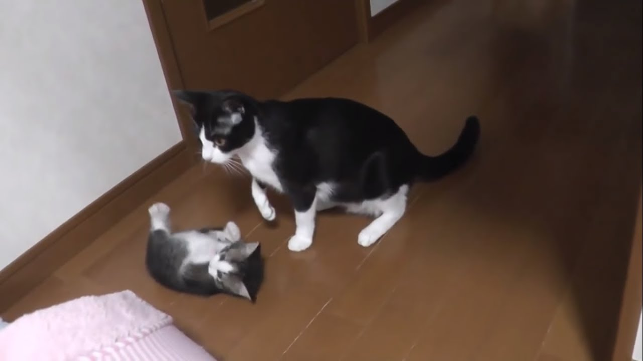 教育熱心な母猫に何故か怒られる子猫 Kittens getting shouted at by a strict mommy cat... for some reason...