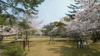 松が丘公園 桜