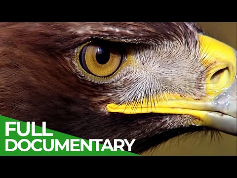 The Golden Eagle: King of the Mountains | Free Documentary Nature