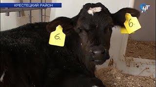 Крестецкий «Белгранкорм» внедряет уникальные для России технологии молочного производства